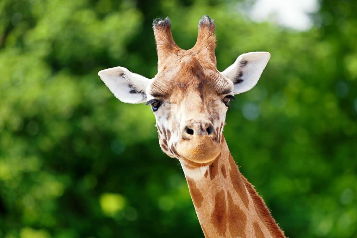 Bild Giraffe Zoo