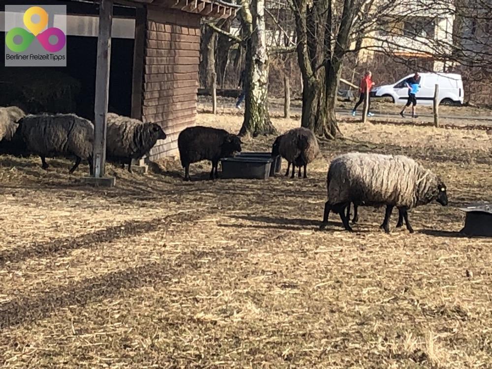 Berlin Schafe Bauernhof
